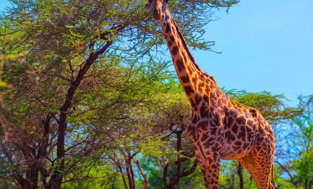 长颈鹿一年级看图作文